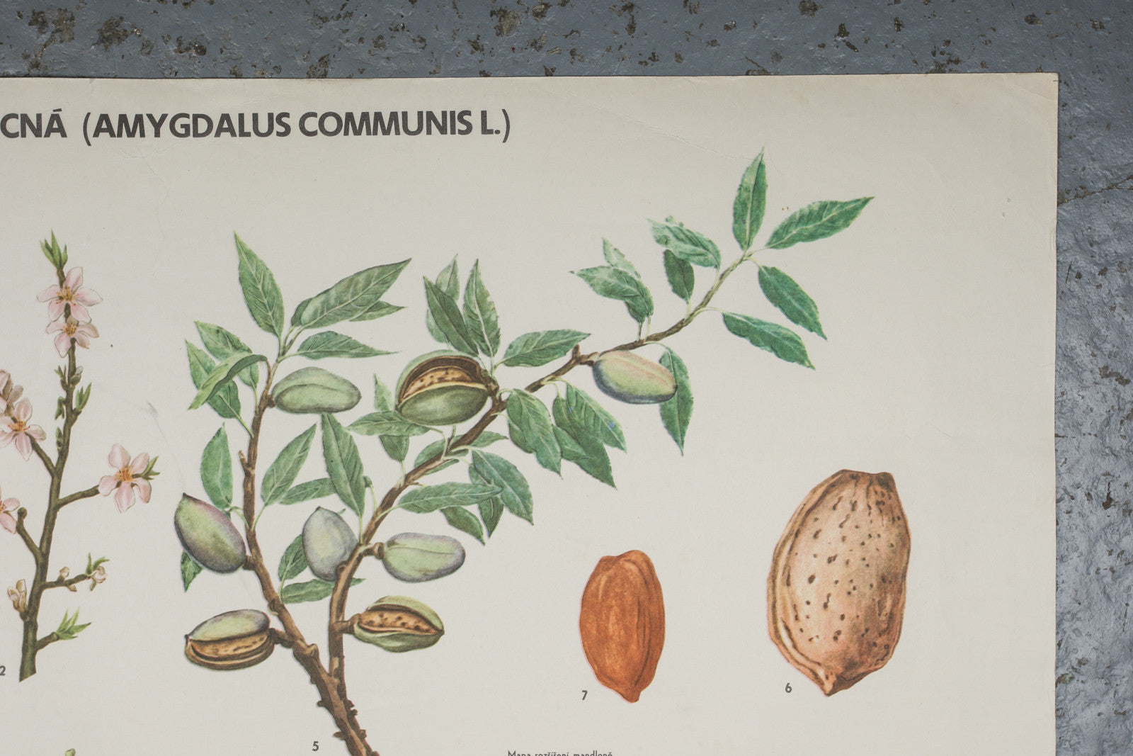 A 1972 botanical school wall chart of an almond available for sale from Industrious Interiors, an online vintage furniture and homeware store based in Nottingham, England.