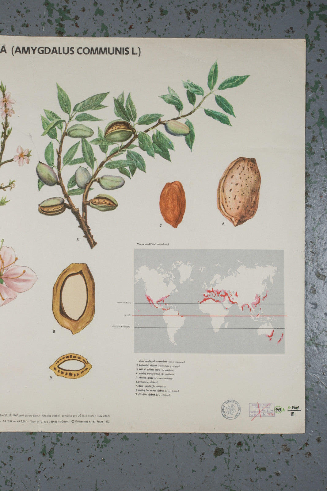 Botanical almond educational poster from 1972