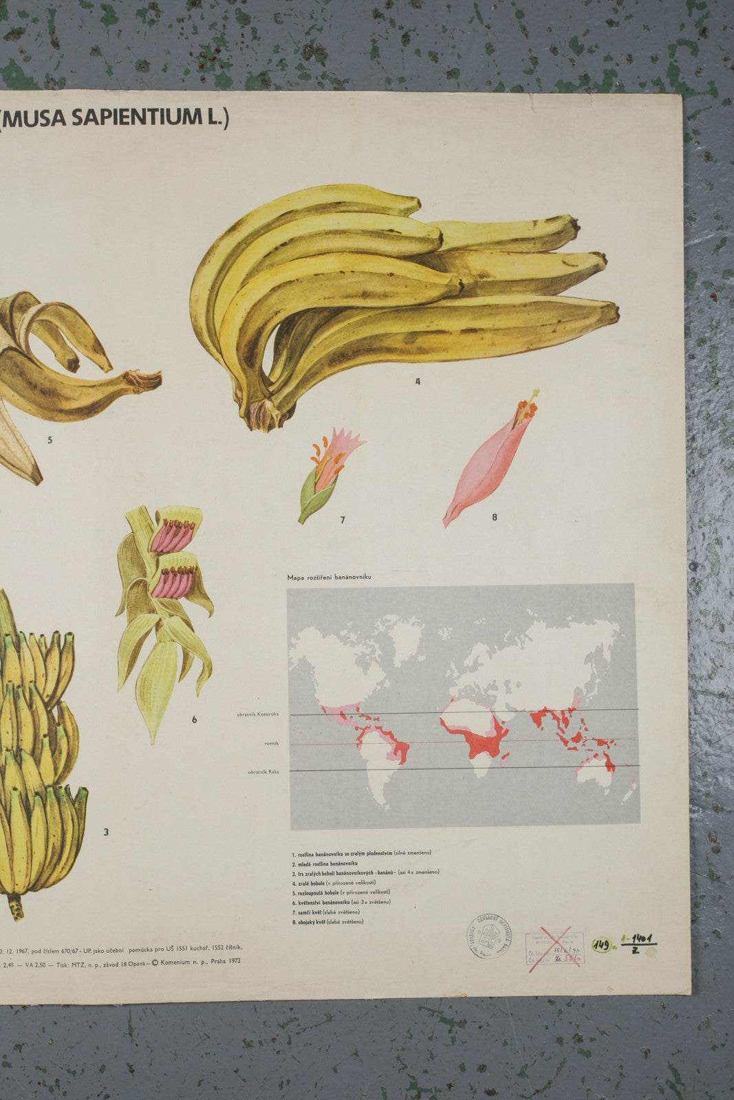 Botanical banana educational poster from 1972
