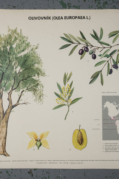 A vintage 1972 botanical school poster depicting the olive available to buy from Industrious Interiors, an online vintage furniture and homeware store based in Nottingham, England.