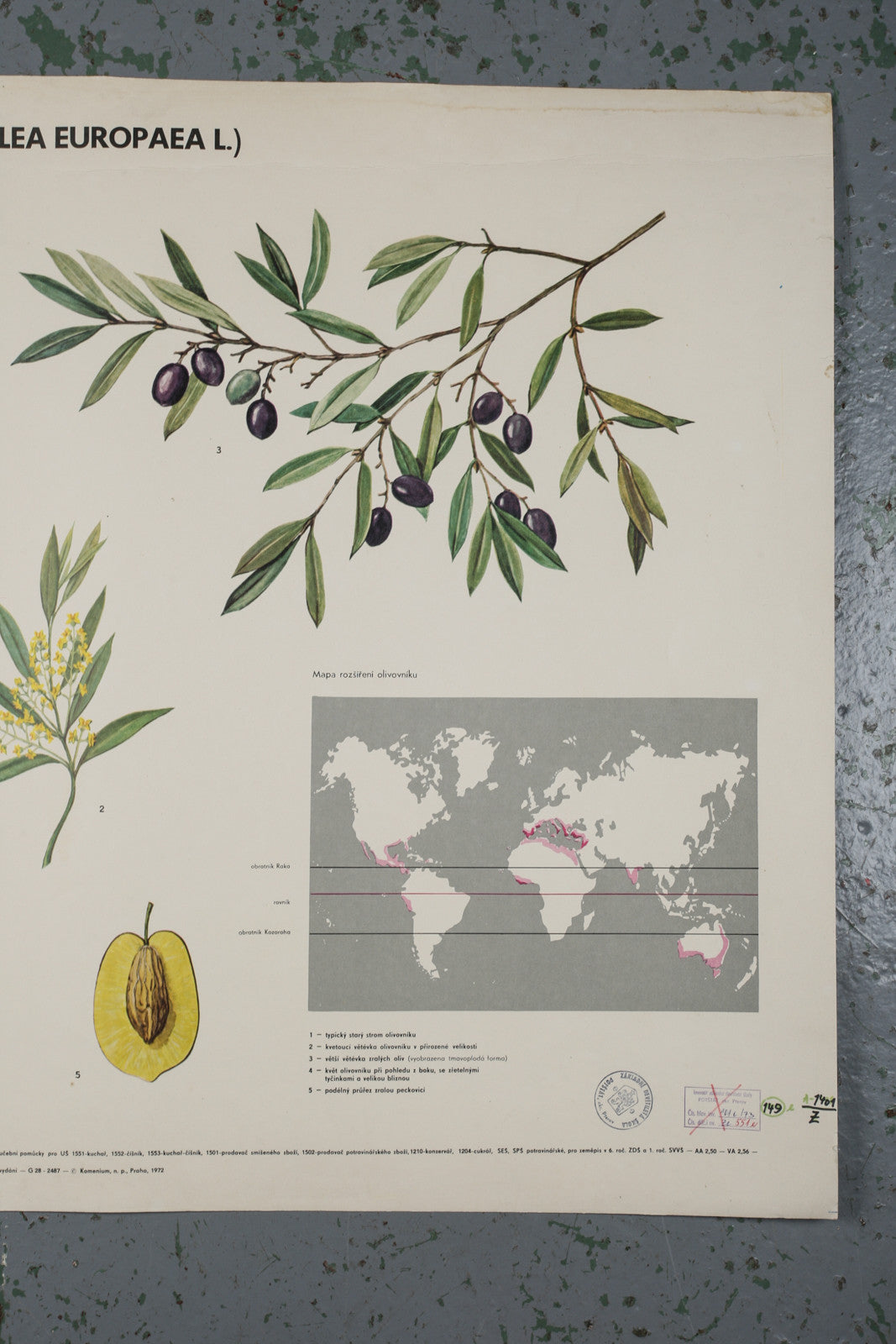 Botanical educational olive poster from 1972