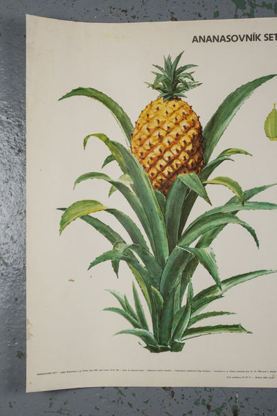 Botanical pineapple educational poster from 1972