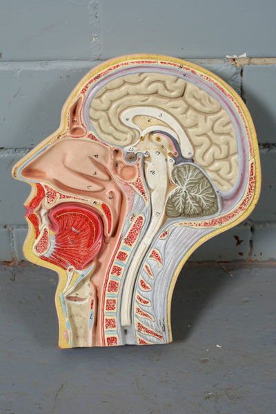 Anatomical Model of the Human Head