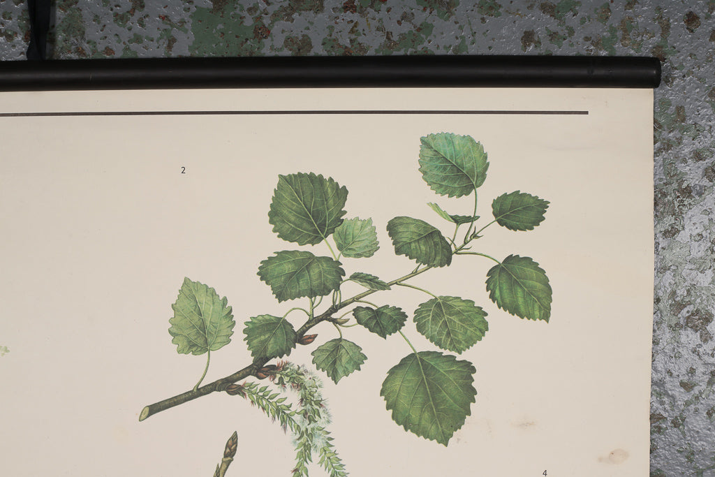 Botanical European Hornbeam Educational Poster