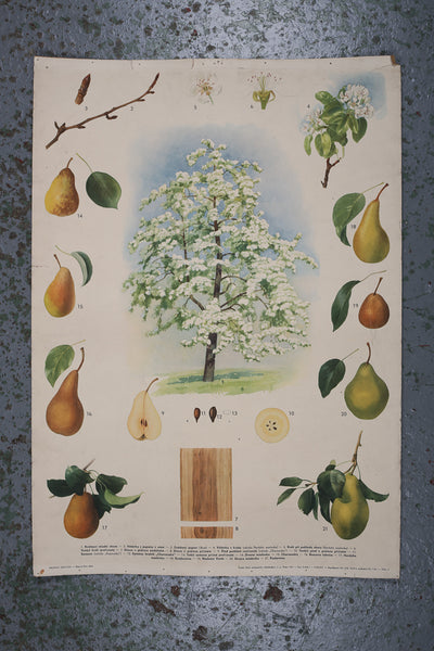 Botanical Pear Tree Educational Poster