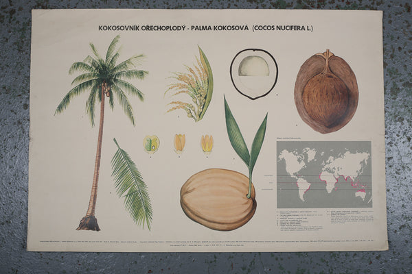Botanical Coconut Educational Poster