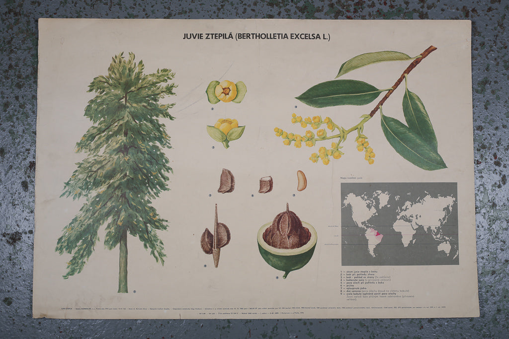Botanical Brazil Nut Educational Poster