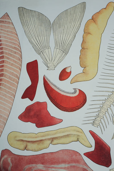 Educational Anatomical Poster of a Fish