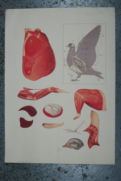 Educational Anatomical Poster of a Pigeon