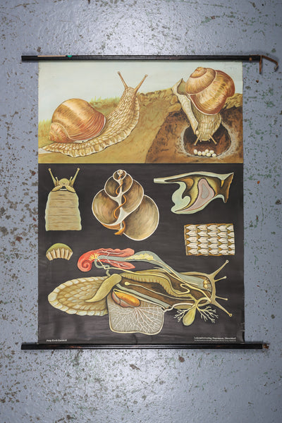 An original German anatomical, educational wall chart depicting the snail available to buy from Industrious Interiors, an online vintage furniture and homeware store based in Nottingham, England.