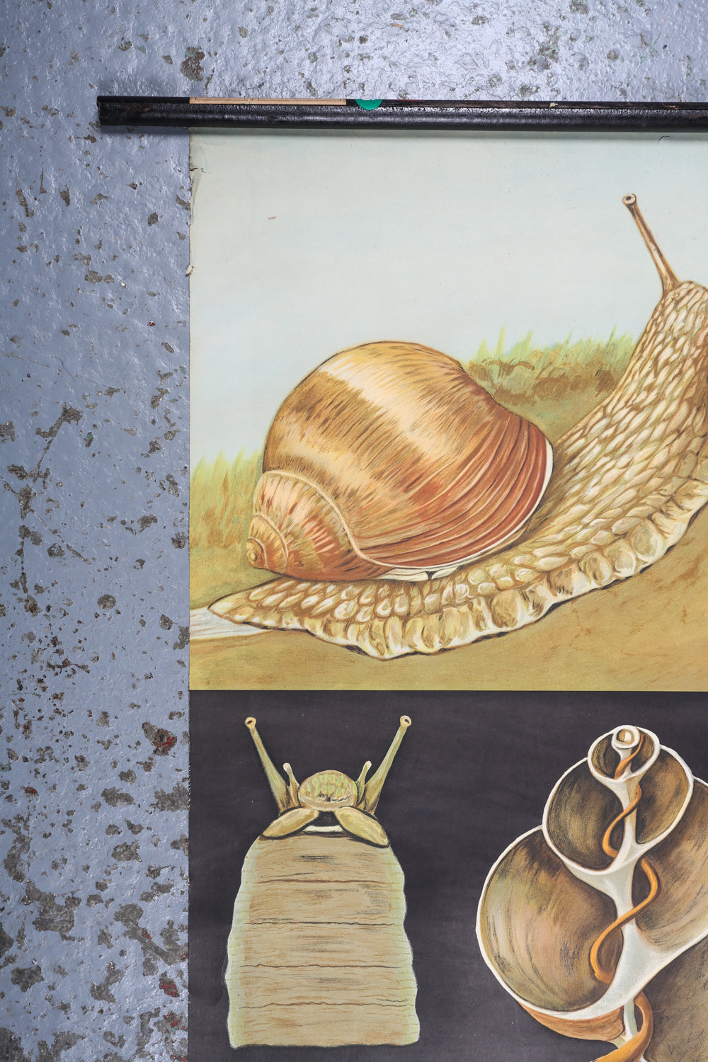 German Educational Wall Chart of a Snail