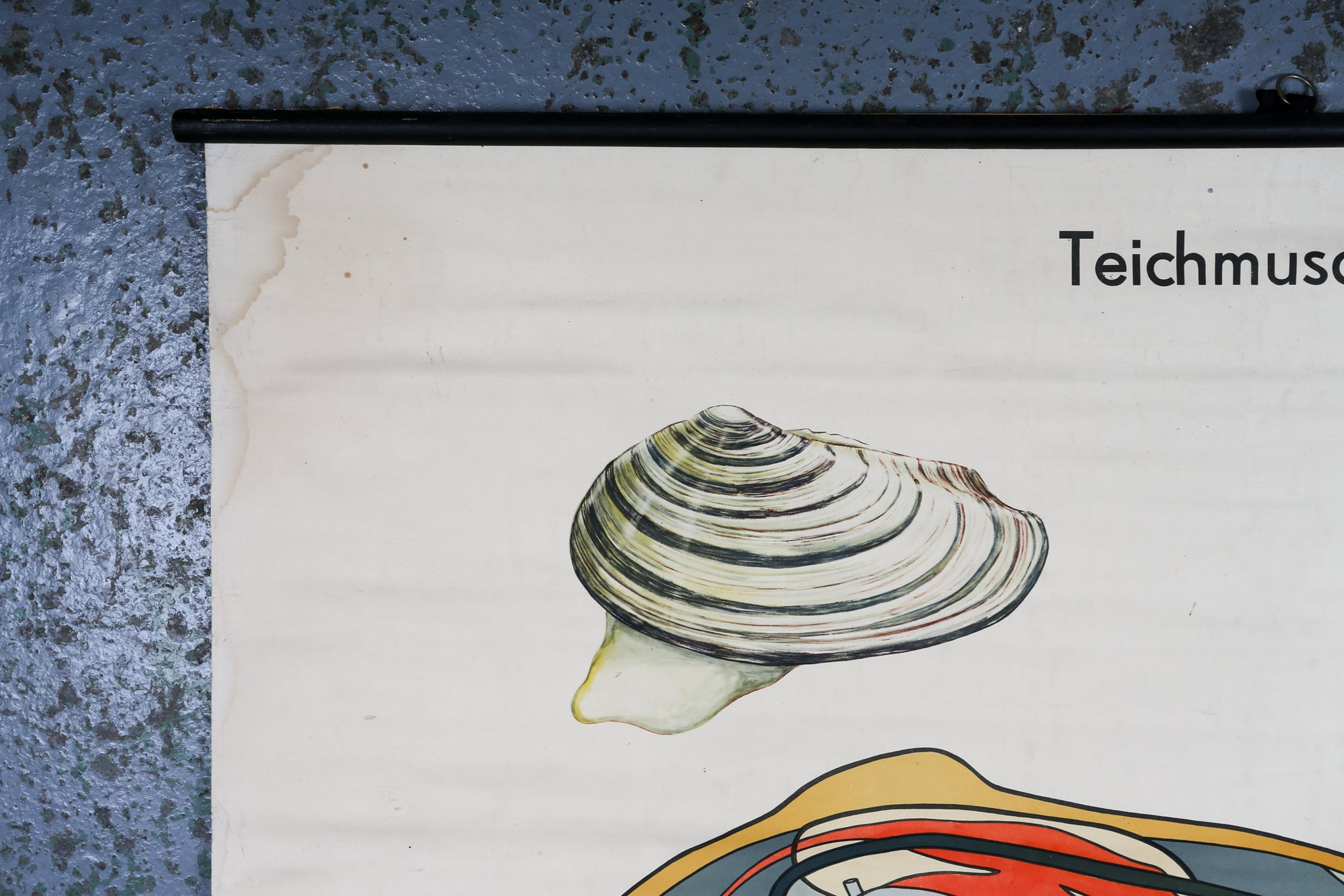 German Educational Wall Chart of a Mussel