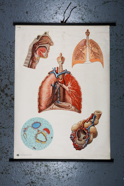 German Educational Wall Chart of Lungs