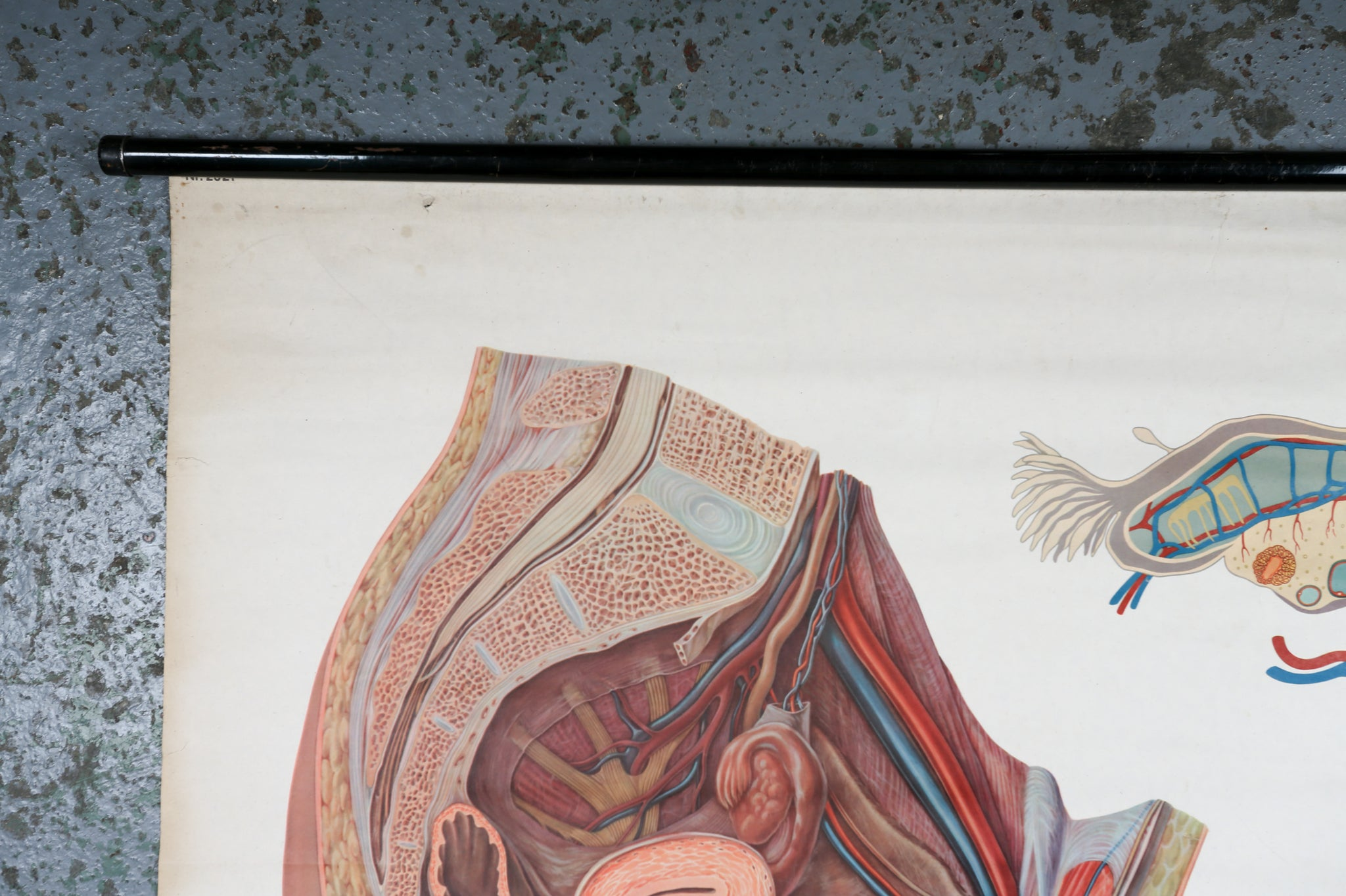 German anatomical wall chart