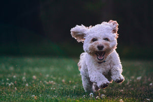 Little fluffy dog running on grass