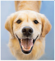 A little book of Divine Dogs - By Affirmations - Picture of a very happy golden retriever