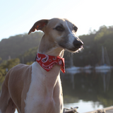 dog Shirt Collar - Red Paisley as seen on a Whippet