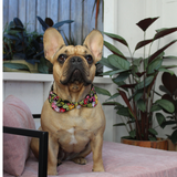 Rose and Hubble Dog Collar shown on a French Bulldog