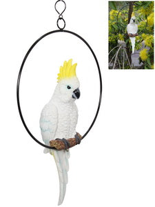 Sulphur crested cockatoo 30cm in total within a 25m ring.