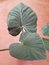 Alocasia 'Regal Sheilds'