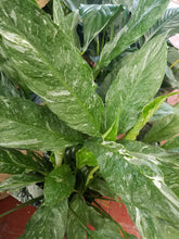 Spathiphyllum 'Domino' - Variegated Peace Lily