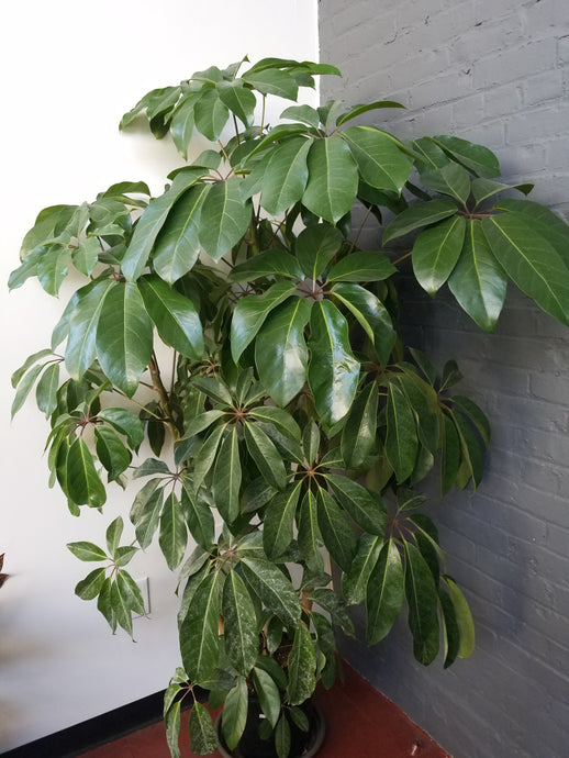 Schefflera amate 'Umbrella Tree' - Large Pots - Pick Up Only