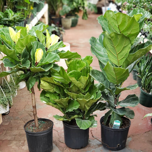 Ficus Lyrata - Fiddle Leaf Fig - Large Pots - Pick Up Only