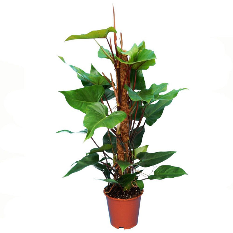 Philodendron 'Red Emerald' - Large Pots