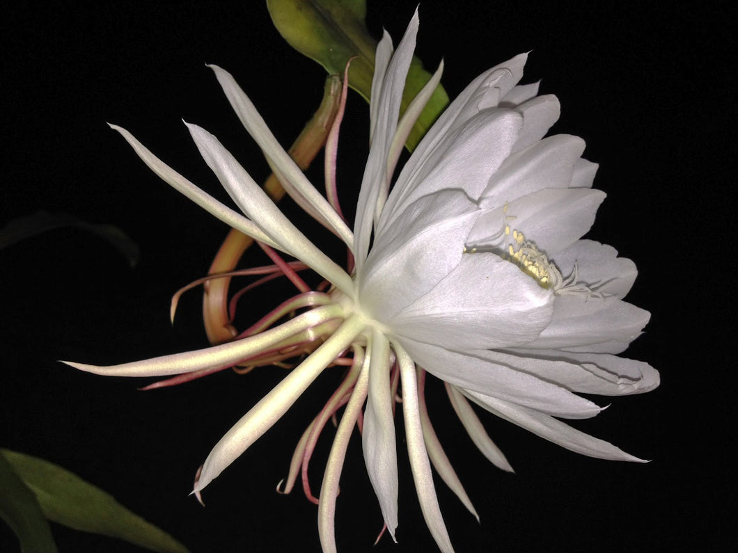 Night Blooming Cereus Cactus