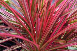 Dracaena Marginata 'Colorama'