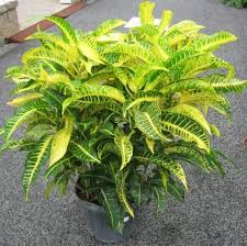 Croton 'Harvest Moon'