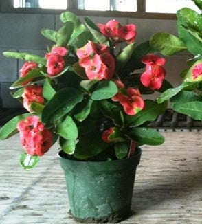 Euphorbia millii 'Crown of Thorns'