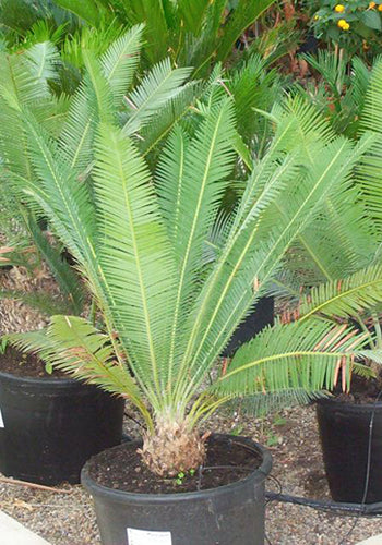 Cycad Dioon Edule Palm