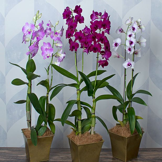 Dendrobium Orchids - Assorted
