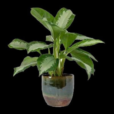 Aglaonema 'Diamond Bay' - Large Pots