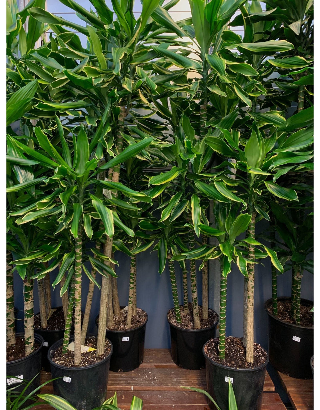 Dracaena Stednerii 'Moonlight'