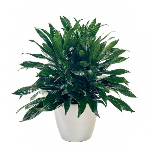 Dracaena 'Green Jewel'
