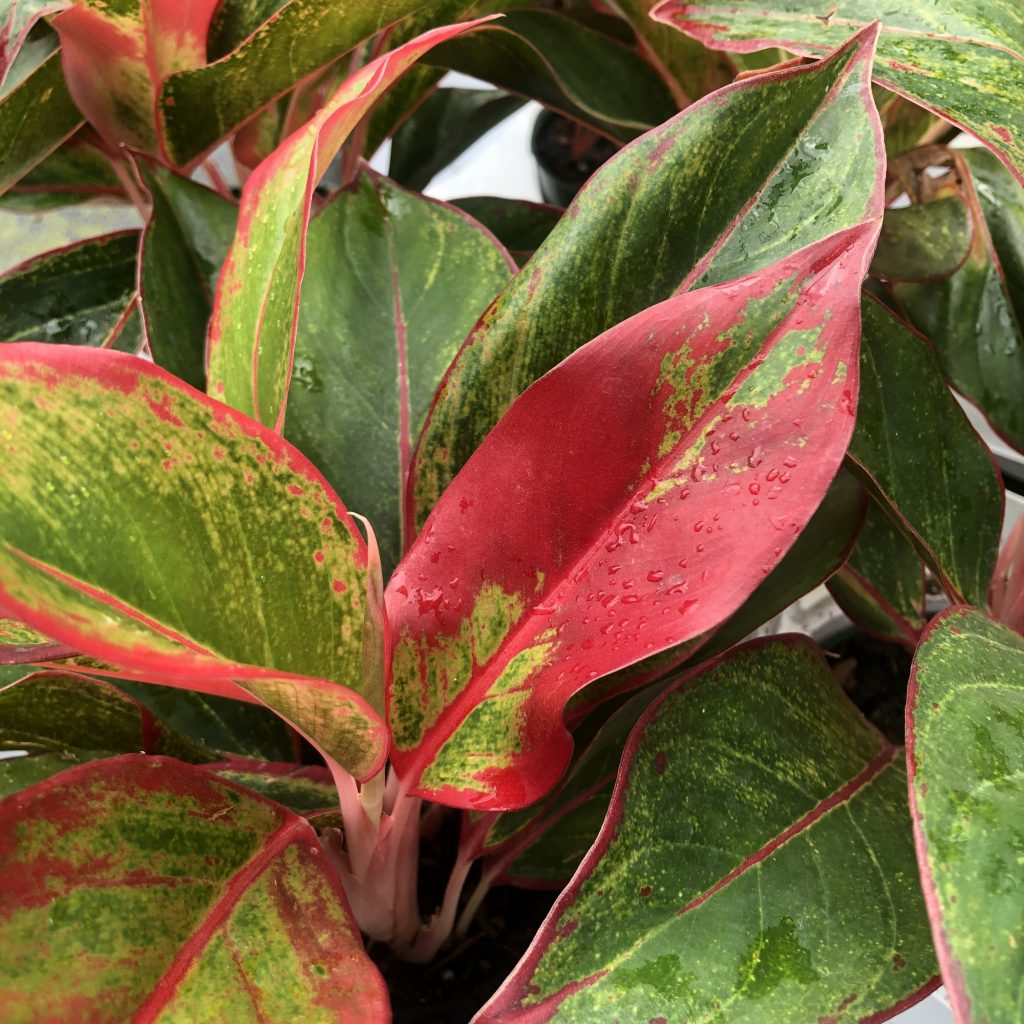 Aglaonema 'Jasper Jones'