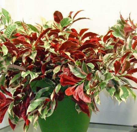 Excoecaria 'Jungle Fire'