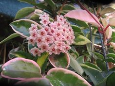 Hoya Carnosa Tricolor 'Krimson Queen' - Hanging Baskets