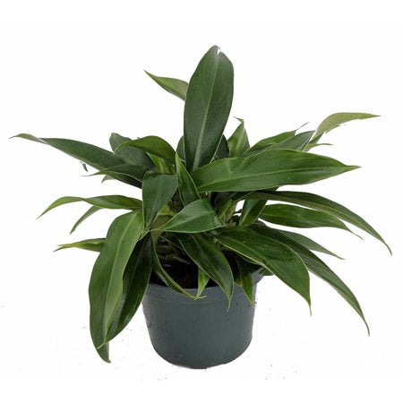 Philodendron 'Little Phil'