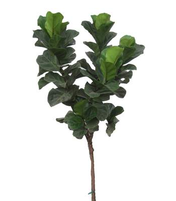 Ficus Lyrata - Fiddle Leaf Fig - Little Fiddle