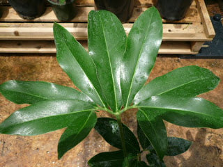 Philodendron 'Nobel'