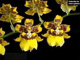 Oncidium Orchid - Assorted