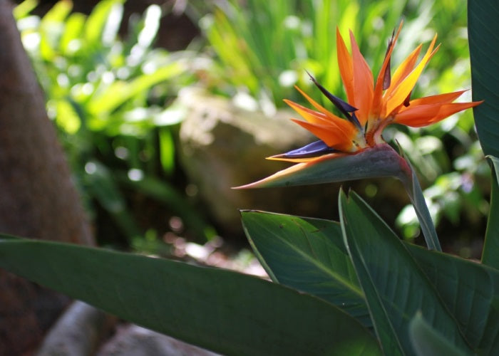 Bird of Paradise - Orange