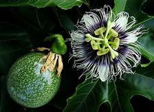 Passiflora Edulis - Passion Fruit