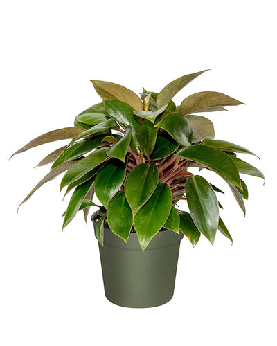Philodendron 'Red Back'