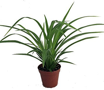 Spider Plant - Green Broad Leaf