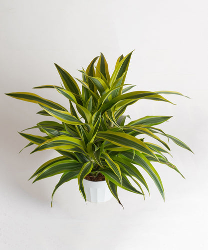 Dracaena-Warneckii 'Green Stripe'