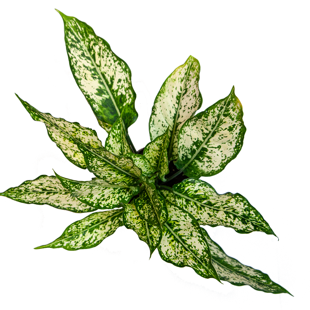Aglaonema 'Wintry Winehouse'